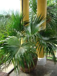 chinese fan palm tree livistona