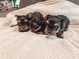 yorkshire terrier puppies akc regist