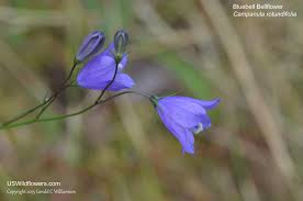 database of blue wildflowers for montana
