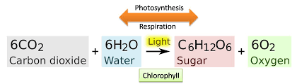 photosynthesis reaction steps and