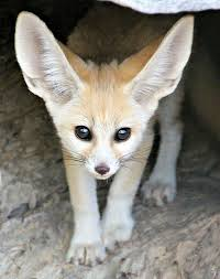 Taronga Celebrates Birth from World's Smallest Fox | Fox species ...