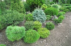 miniature conifers for your garden