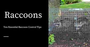 Ten Essential Raccoon Control Tips Pest Control Products