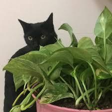 گربه سیاه DSH|گربه|تهران، سعادتآباد|دیوار