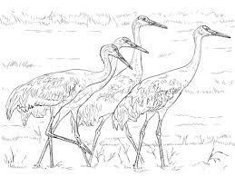 Vier Sandhill Kraanvogels Kleurplaat Gratis Kleurplaten Printen