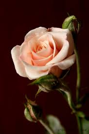 Csak egy szál rózsa... - Országalbum