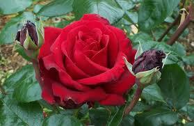 jadilah wanita seperti mawar di tepi jurang bukan di tepi jalan