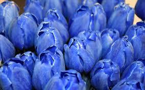 تحميل خلفيات الأزرق الزنبق براعم الخزامى الزهور الزرقاء الزنبق