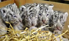 white tiger cubs born at austrian zoo