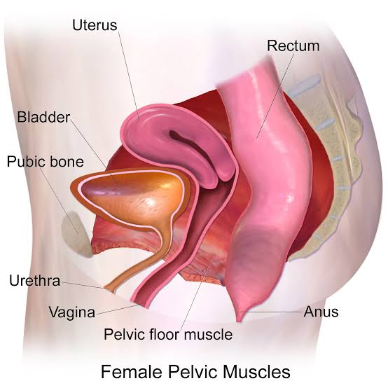 Image result for Pelvic floor muscles