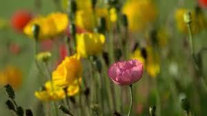 من اجمل المناظر منظر الورود فى الحدائق Youtube