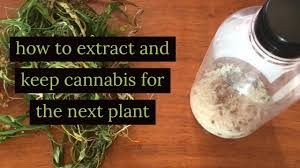 how to extract and keep cannabis seed for the next plant - YouTube