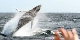 whale watching gold coast everything