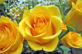 الوان الورود ومعانيها زهور جميله تعطيك تفاؤل ورائحه رائعه