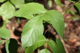 poison ivy home garden information