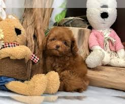 view ad poodle toy puppy