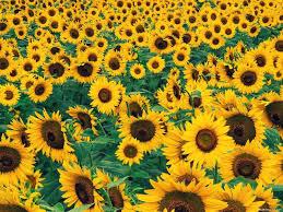 desktop wallpaper sunflowers h719900