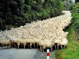 GreenArea - في نيوزيلندا، عدد الأغنام اكثر من عدد السكان ...