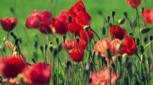 اجمل منظر تراه لتفتح الزهور سبحان الله Youtube