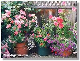 growing roses in containers rose