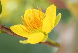 Image result for hoa tết mùa xuân