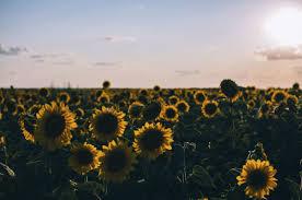 sunflower wallpaper chromebook