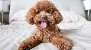 poodle breed info rament sizes