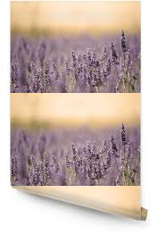 summer meadow with flower lavender