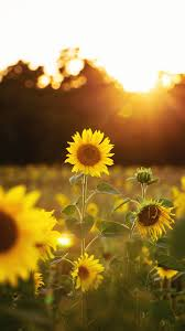 sunflower phone wallpapers top free