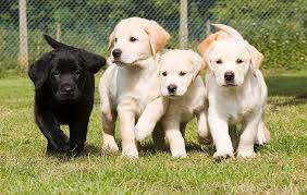 The seven stages of life for a guide dog, from puppy to retiree ...