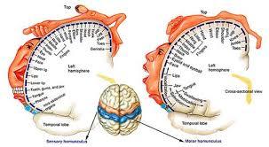 sensory and motor homunculi homunculo
