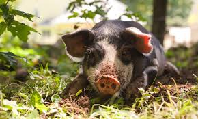 Raising Pigs On Electric Fence The Modern Day Settler
