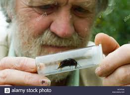 Scientist Ivan Wright, looking at Red tailed bumble bee (Bombus ...