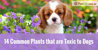 14 common plants that are toxic to dogs