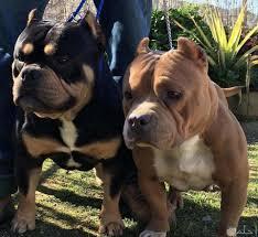 صور كلاب بيتبول شرسة وقوية جدا