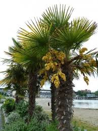 windmill palm trees how to plant a