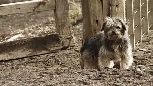 Gray Maltese Dog Barking In The Farm Near The Wooden Fence By Maradonas Land
