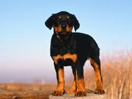 doberman puppy dogs s