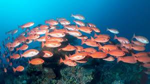 parede um bando de peixe vermelho