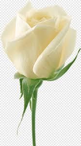 باقة من الورود البيضاء وردة بيضاء الأبيض التصوير الفوتوغرافي Png