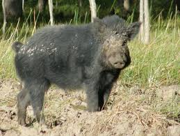 rspca call for humane feral pig hunting