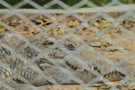 Large Alligator Caught Climbing Fence Of Florida Naval Base