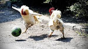 Funny Chicken Ultimate Funny Chicken Compilation Hd Funny Pets Youtube