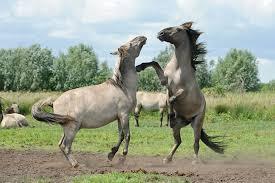wild horses rewilding in the uk