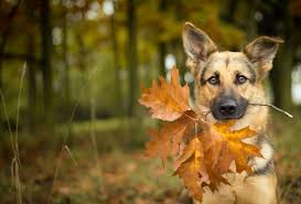 Wallpaper shepherd, dog, autumn, leaf, maple leaf desktop wallpaper » Animals » GoodWP.com