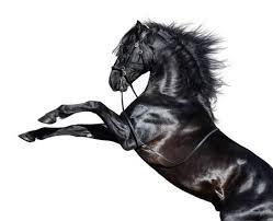Zwart Paard Foto S Afbeeldingen En Stock Fotografie 123rf