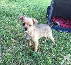 drake chihuahua puppy male in