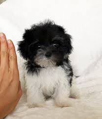 black and white maltipoo puppies