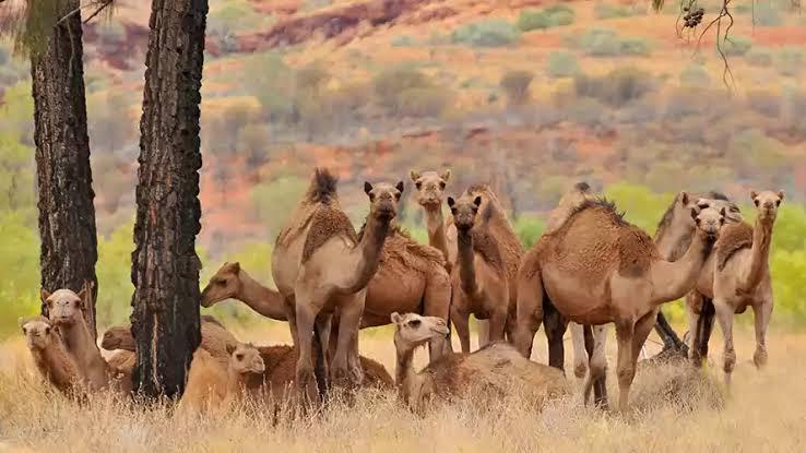 """Resultado de imagen para sacrificaran camellos en australia"""""""