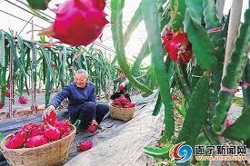安居区七彩明珠景区五彩花坞火龙果基地- 遂宁新闻网